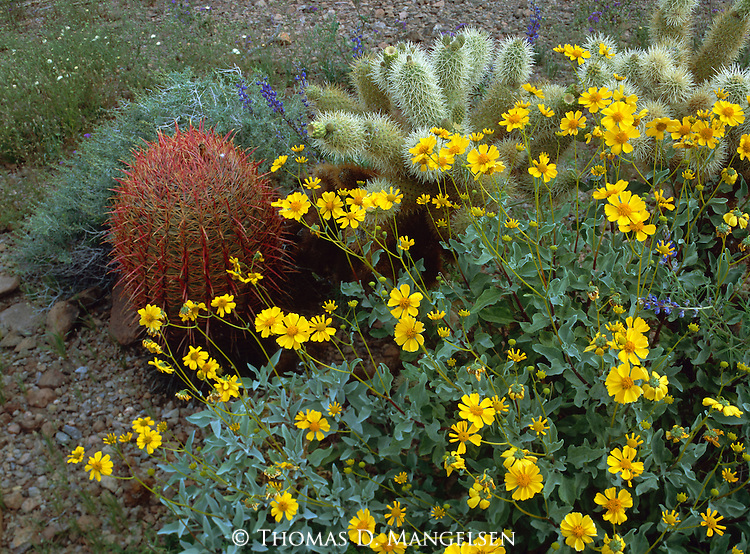 Desert flowers in Kofa National Wildlife Refuge, Southwest Arizona