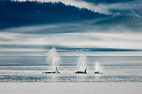 Killer Whale, Orcinus orca, pod foraging at the entrance to Endicott Arm in Southeast Alaska, USA.