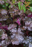 Heuchera 'Licorice' dark purple leafed foliage plant