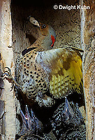 FK17-001z  Common Flicker - female removing waste pellet from nest cavity of dead tree - Colaptes auratus