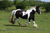 Bob, ANIMALS, REALISTISCHE TIERE, ANIMALES REALISTICOS, horses, photos+++++,GBLA4424,#a#, EVERYDAY