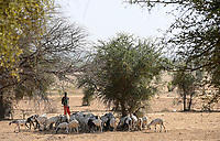NIGER, village Namaro, tree acacia senegal which produce the tree resin gum arabic, shepherd with goats, feeding the cattle with leaves from the trees in dry season