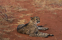 Namibia Africa cheetah in wild at Okonjima Private Reserve at Okonjima Bush Camp on safari at Africat Foundation to rescue wild animals