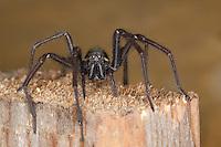Große Winkelspinne, Hauswinkelspinne, Haus-Winkelspinne, Hausspinne, Kellerspinne, Weibchen, Tegenaria atrica, Eratigena atrica, Tegenaria gigantea, giant European house spider, giant house spider, larger house spider, cobweb spider