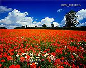 Tom Mackie, FLOWERS, photos, Field of Poppies & Corn Daisies, Near Norwich, Norfolk, England, GBTM881392-1,#F# Garten, jardín