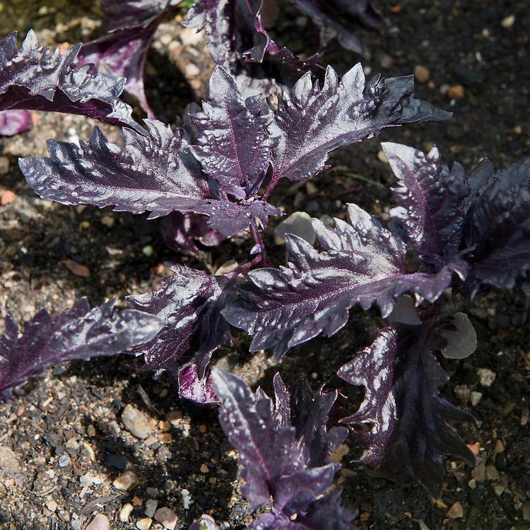 Basil 'Purple Ruffles', mid June.