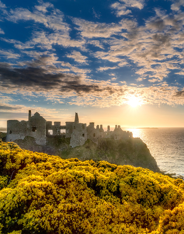 Dunluce Castle,at sunset with blooming gorse. Northern Ireland.