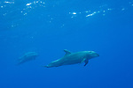San Benedicto Island, Revillagigedos Islands, Mexico; three Pacific bottlenose dolphins swimming near the surface in blue water