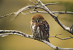 Small owl on branch in Torres del Paine National Park. Region 12. Chile.