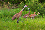 Sandhill crane family walking in a northern Wisconsin meadow.