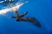Sperm Whale, Physeter macrocephalus, excreting, Dominica, Caribbean, Atlantic