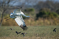 Whooping Crane flying by doves.