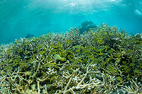 French Grunts and Staghorn coral