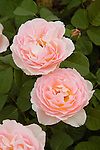 ROSA 'THE YEOMAN', ENGLISH ROSE BY DAVID AUSTIN, BAKERSFIELD