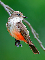 Adult female vermilion flycatcher at Dan Brown's Hummer House ranch at Christoval, TX