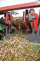 Harvesting Garlic Bulbs In Lincolnshire.