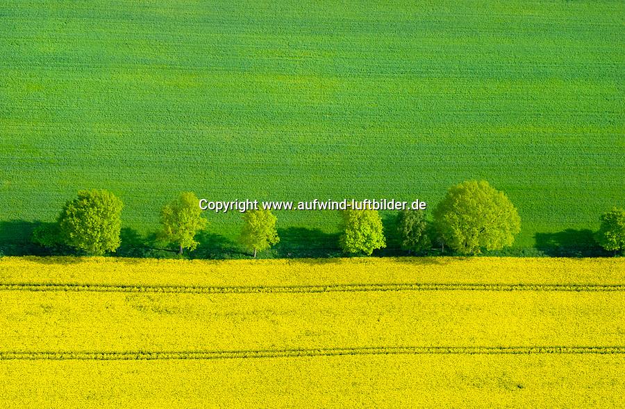 Raps und Baumreihe aus der Luft: DEUTSCHLAND, MECKLENBURG- VORPOMMEN, HAGENOW, 01.05.2014: Raps und Baumreihe aus der Luft