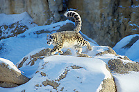 Snow Leopard (Panthera uncia)/(Uncia uncia) running across snow covered boulders--uses tail for balance.