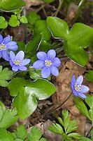 Gewöhnliches Leberblümchen, Leber-Blümchen, Hepatica nobilis, Liverleaf, Liver-leaf