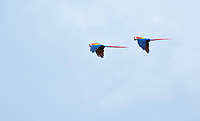 A pair of Scarlet Macaws, Ara macao, flying over the Tarcoles River, Costa Rica