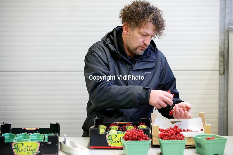 Foto: VidiPhoto<br /> <br /> ANDELST – Personeel van fruitteler Gerard Vos, sorteert dinsdag rode bessen uit de koelcellen in Andelst in de Betuwe. Vos hoopt net zo hard dat de restaurants weer open gaan dan de sector zelf. Waar het normaal gesproken rond deze tijd topdrukte is in de bessenhandel en zo'n vijftien personeelsleden aan het werk zijn, is er nu maar mondjesmaat afzet voor het supergezonde zachtfruit. Restaurants zijn namelijk de grootste afnemers en die zijn vanwege de coronamaatregelen gesloten. Rode bessen worden voornamelijk gebruikt als garnering. De prijzen voor de telers zijn daarom fors gekelderd, terwijl de consument in de supermarkt desondanks de hoofdprijs betaalt. Omdat rode bessen boordevol antioxidanten zitten, koortsverlagend en weerstandsverhogend werken, is de consumptie ervan toegenomen. Dat compenseert voor telers echter niet de weggevallen bestellingen uit de horeca. Vos heeft nog zo'n 50.000 kilo bessen in de opslag die hij voor het nieuwe seizoen in mei kwijt moet zien te raken.