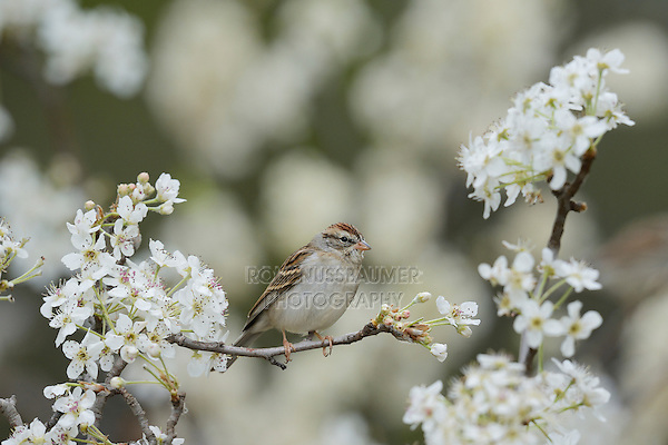 Chipping Sparrow (Spizella passerina), adult perched on blooming Mexican Plum (Prunus mexicana), Hill Country, Texas, USA