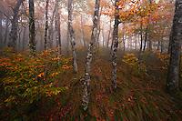 Autumn beech gap, Blue Ridge Parkway