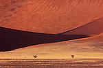 Grass growing on sand dunes, Namib Desert