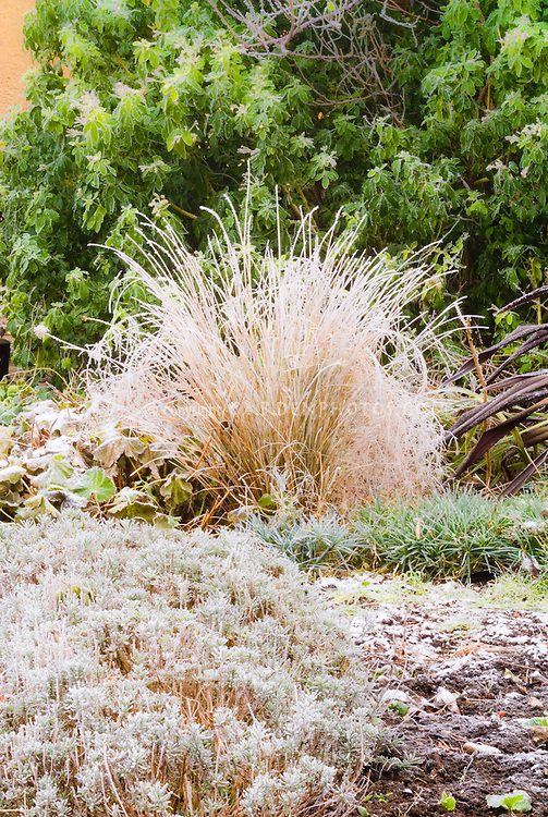 Phormium and ornamental grass in winter frost snow