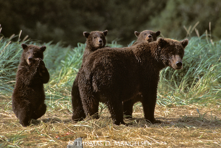 Alaskan Brown Bear (Ursus arctos) with three cubs in Southeast, AK