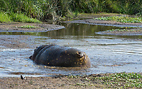 A male Hippopotamus, Hippopotamus amphibius, marks its territory by throwing feces with its tail, at the edge of a pond in Ngorongoro Crater, Ngorongoro Conservation Area, Tanzania