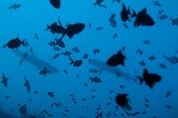 Two Whitetip Reef Sharks (Triaenodon obesus) swimming amongst a school of Blue Triggerfish (Odonus niger), Rasdhoo Atoll, Maldives.