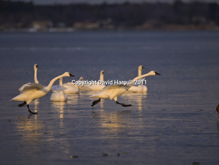 Even a swan's gracefullness is tested when taking off from the frozen surface of the Choptank river at Cambridge