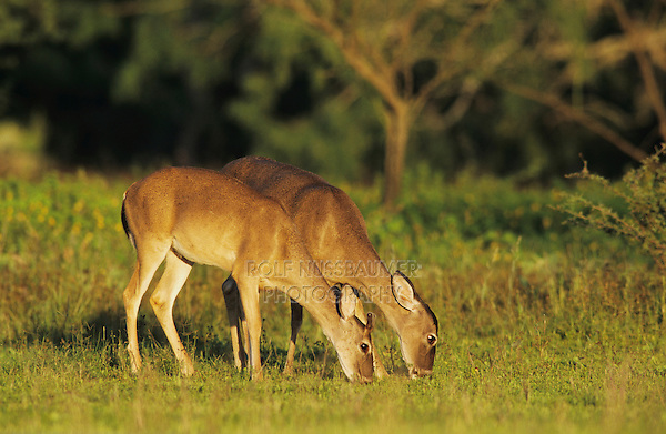 White-tailed Deer, Odocoileus virginianus, adults eating, Willacy County, Rio Grande Valley, Texas, USA