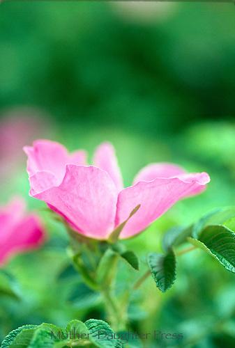 Tall shrub roses, Rosa Hugonis, red single, close-up, May, MO