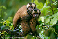 Brown Capuchin Monkeys (Cebus apella) in lowland tropical rainforest, Manu National Park, Madre de Dios, Peru.