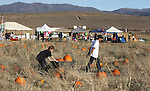 Tyler and Trevore Corbett, 9 and 12, pick pumpkins at the Corley Ranch Harvest Festival in Gardnerville, Nev. on Saturday, Oct. 27, 2012. .Photo by Cathleen Allison