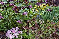 Viola Sorbet pansies and Helleborus Brandywine Hellebore,  Epimedium Violet Princess, Anemonella in spring bloom