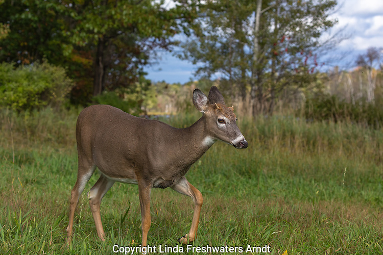 White-tailed buck stomping his foot.