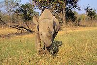 Black Rhinoceros (Diceros Bicornis) Africa