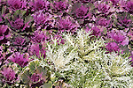DISPLAY BED OF FLOWERING KALE AND ORNAMENTAL CABBAGE