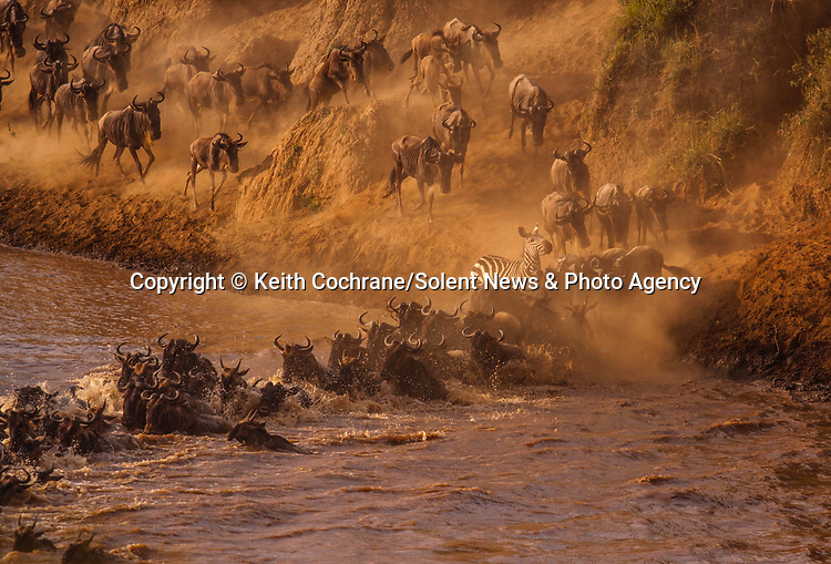 Pictured:   A lone zebra joins a herd of wildebeest crossing a river.<br /> <br /> They are embarking on the great migration which begins in April each year.<br /> <br /> The animals - more than two million zebras, gazelles and wildebeest - then return on their 1,800 mile round trip in November.  SEE OUR COPY FOR FULL DETAILS.<br /> <br /> <br /> Please byline: Keith Cochrane/Solent News<br /> <br /> © Keith Cochrane/Solent News & Photo Agency<br /> UK +44 (0) 2380 458800