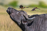 Pictured: A buffalo stands unperturbed as an Oxpecker bird perches right on its head waiting to feed.  But just seconds later it tries to shake it off in irritation.<br /> <br /> The buffalo and oxpecker enjoy a symbiotic relationship, with the bird keeping the much bigger animal clean and healthy by feeding off parasites on its skin.   The photos were captured in Kenya's world famous Masai Mara by photographer Xavier Ortega.   SEE OUR COPY FOR DETAILS<br /> <br /> Please byline: Xavier Ortega/Solent News<br /> <br /> © Xavier Ortega/Solent News & Photo Agency<br /> UK +44 (0) 2380 458800