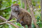 Northern Grey Bamboo Lemur (Hapalemur occidentalis). Marojejy NP, north eastern Madagascar.