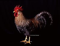 """In the photo the race Bielefelder  chicken.<br /> Bielefelder Kennhuhn or Bielefelder is a German breed of domestic chicken. It was created in the 1970 by Gerd Roth using Amrocks (Barred Rocks), Malines, New Hampshire and Rhode Island Red. It has gained the term the """"Uber Chicken"""" due to its many desirable characteristics.[1]<br /> <br /> Bielefelder (Bie-le-fel-der) is dual purpose breed, although their primary is egg laying as hens produce about 230 large to extra large brown eggs a year. Meat production is a secondary purporse.[1] Male and female chicks look different directly after hatching, which makes chick sexing extremely easy. It is a so-called auto-sexing breed. They have a very docile disposition and easy to tame and kid-friendly. Recommended mating ratio is 12 females to 1 male with a roost height of a meter (2 to 4 feet<br /> Photo Roosters and Hens Ornamental breeds, Italian champion breeds August 2020."""