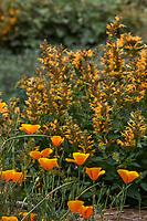 Agastache 'Kudos Gold' Anise Hyssop, Hummingbird Mint flowering perennial in Crescent Farm demonstration garden; Los Angeles County Arboretum and Botanic Garden