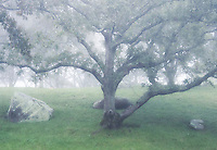 Tree in soft mist, Martha's Vineyard, Massachusetts, USA
