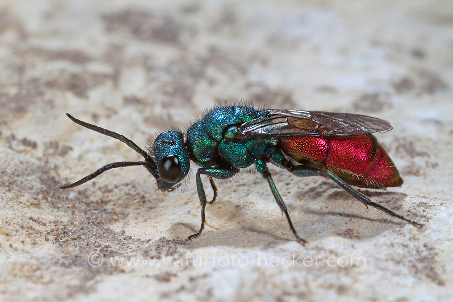 Schneckenhaus-Goldwespe, Chrysis trimaculata, Goldwespen, Chrysididae, cuckoo wasp, cuckoo wasps