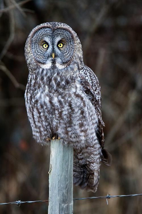 Great Grey Owl perched atop a fence post.. 2219x3328