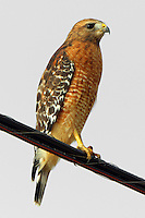 Adult red-shouldered hawk. This bird and its mate live and nest in our suburban neighborhood. They often perch in a place that overlooks an undeveloped grassy area, fast disappearing, to hunt for mice. They have become rather tame and used to traffic and strollers.